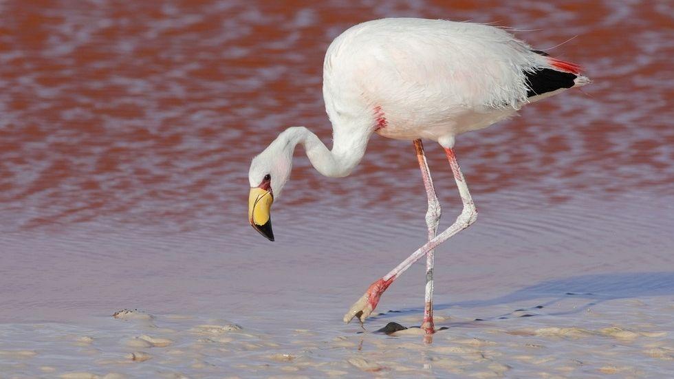 ... den Chileflamingo, den Andenflamingo und den James-Flamingo (im Bild). Sein besonderes Accessoire ist der gelbe Schnabel.