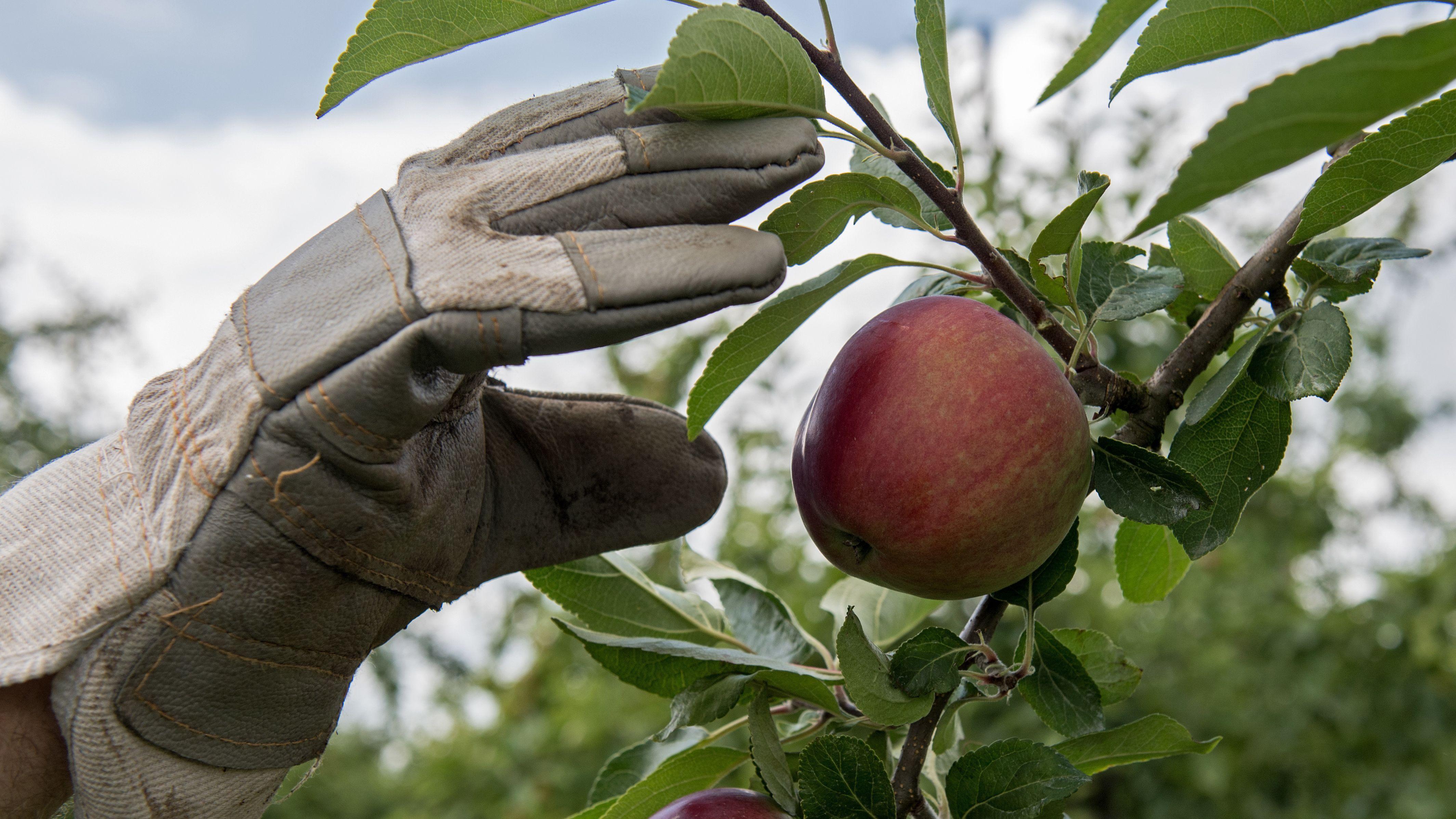 Eine Hand greift am 19.07.2016 auf einer Obstplantage in Jork (Niedersachsen) nach einem Apfel im Baum.