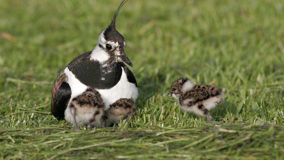 In Europa ist die Hälfte der Feldvögel verschwunden. Hier sitzt ein Kibitz mit Jungen in der Wiese.
