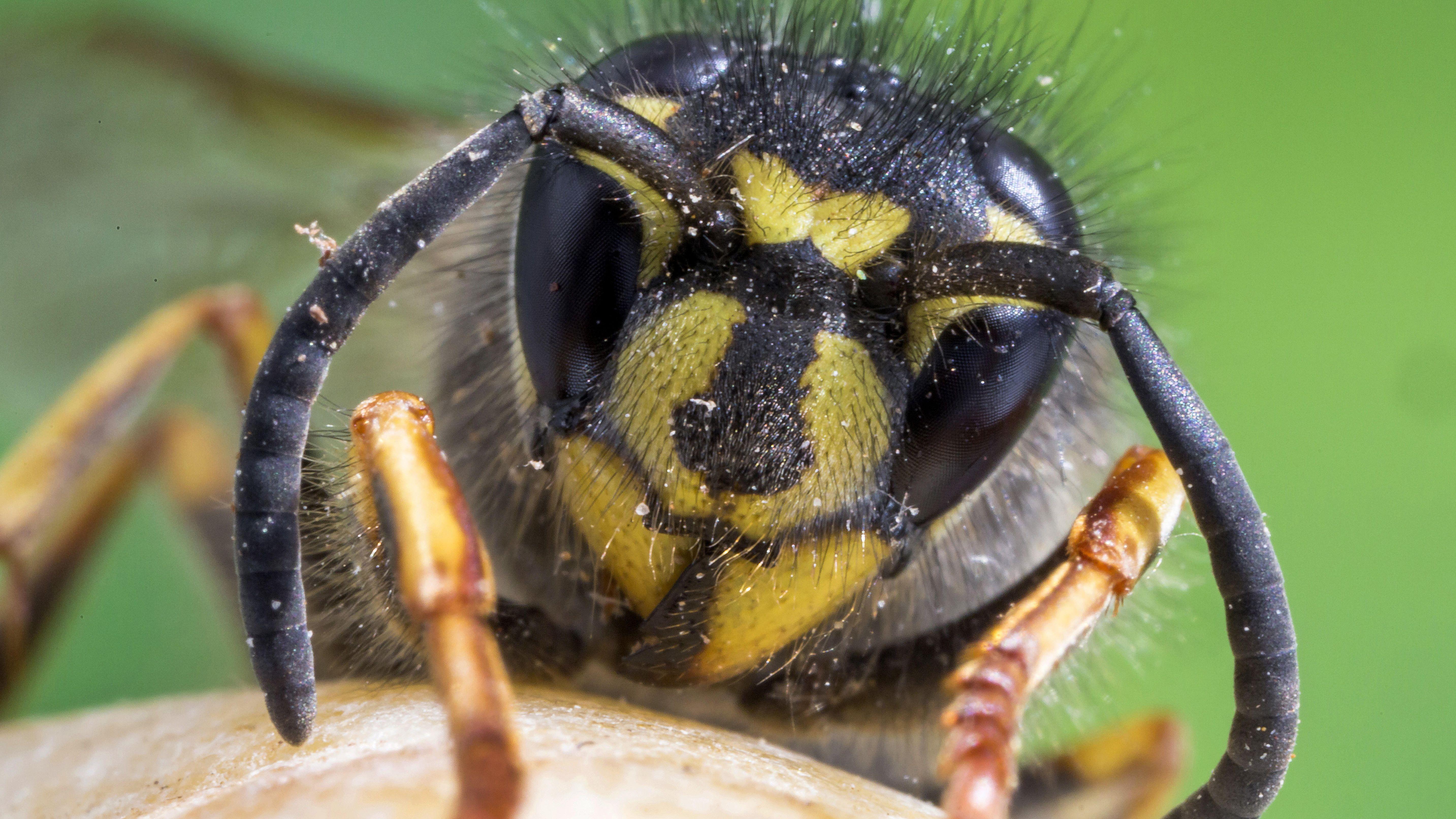 Vorderansicht einer gewöhnlichen Wespe (Vespula vulgaris)