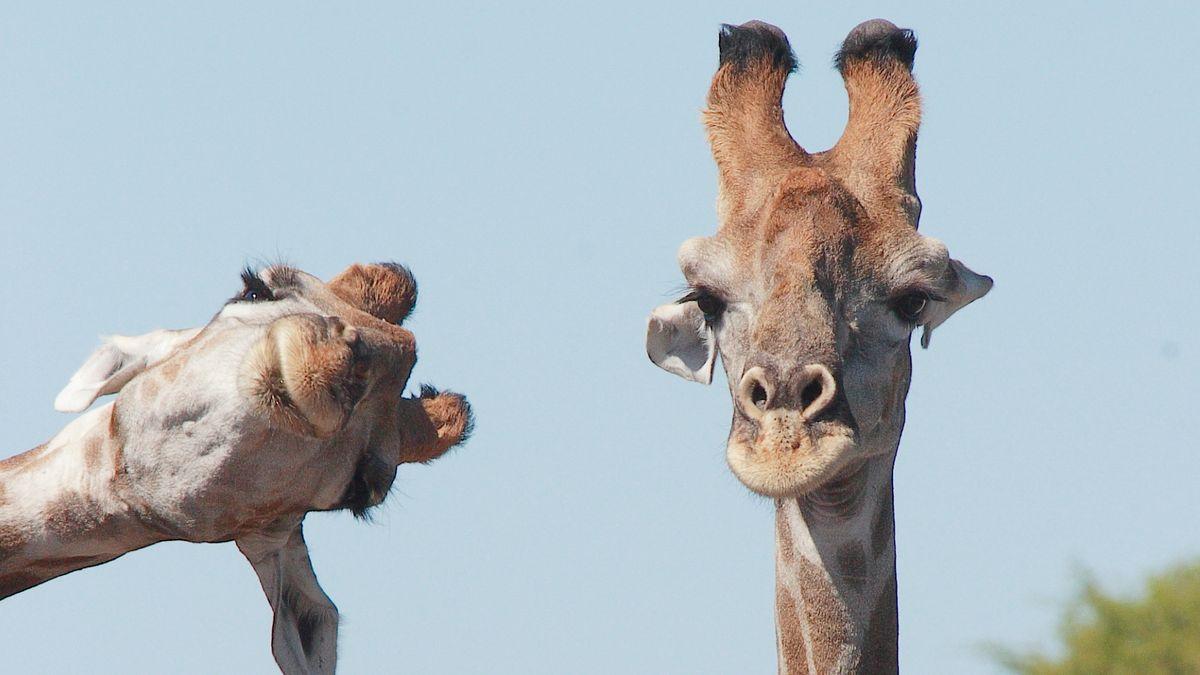 Photobombing? Können auch Giraffen!