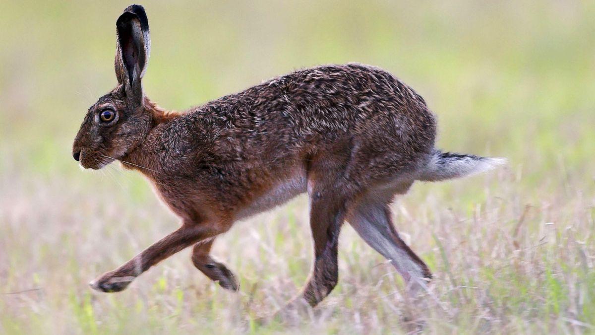 Symbolbild Hase