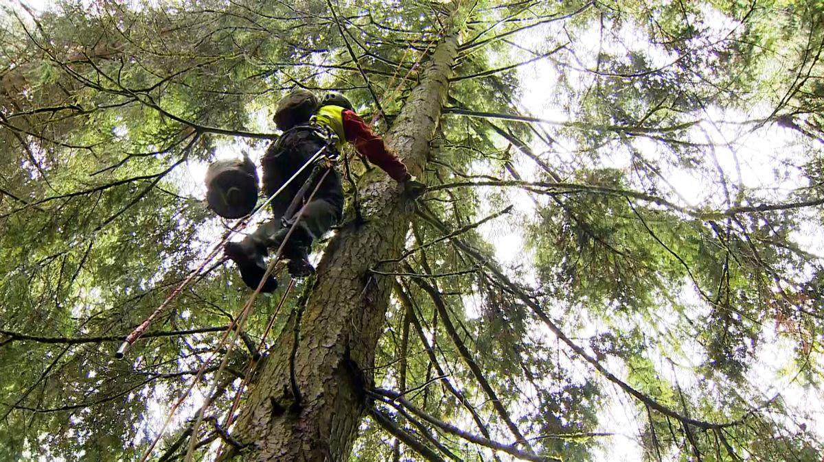 Mann mit Kletterausrüstung steigt auf einen Baum.