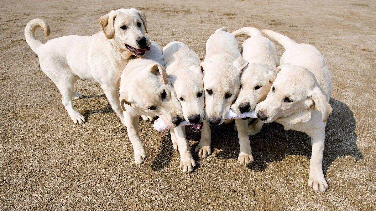 Geklonte Hunde