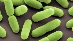 Listerien | Bild:Manfred Rohde, Helmholtz-Zentrum für Infektionsforschung