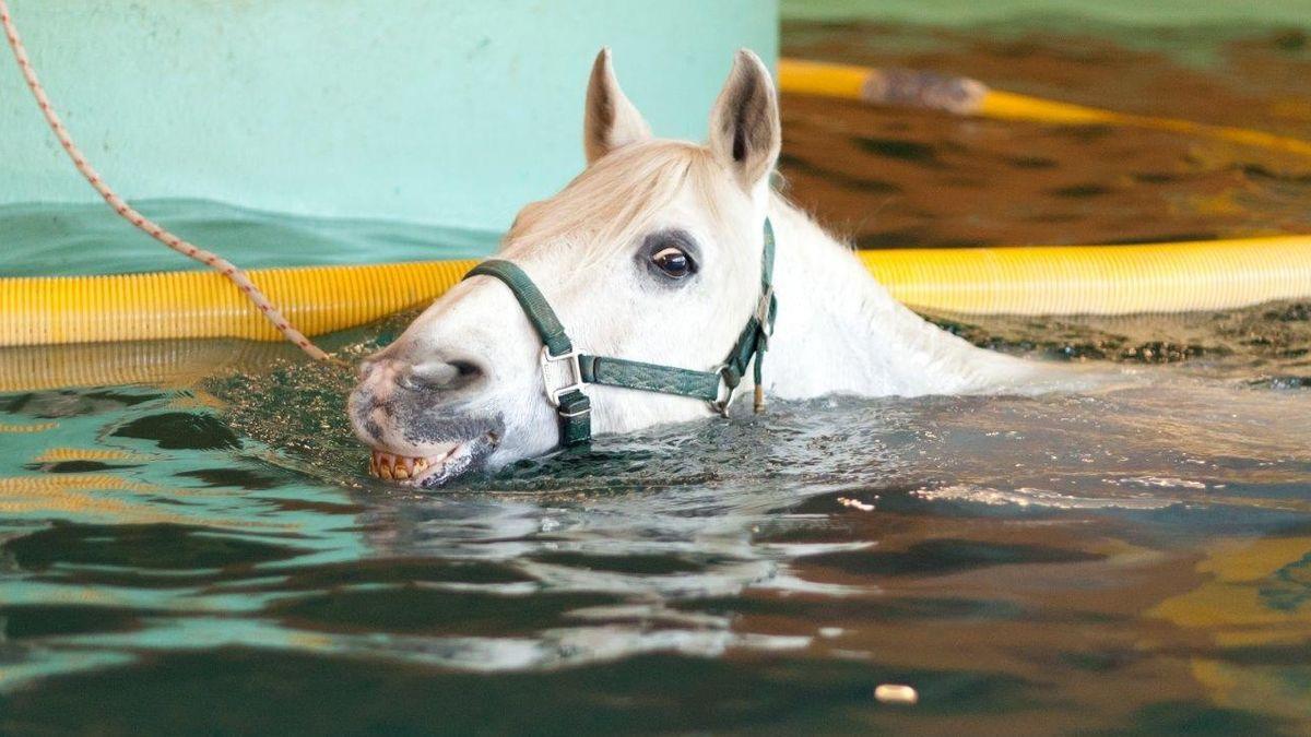 Pferd im Schwimmbad am TMBZ in Dießen am Ammersee.