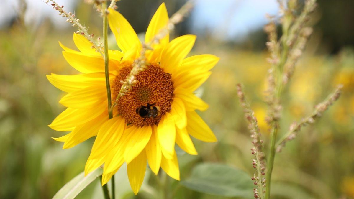 Sonnenblume mit Biene mit Feld im Hintergrund.