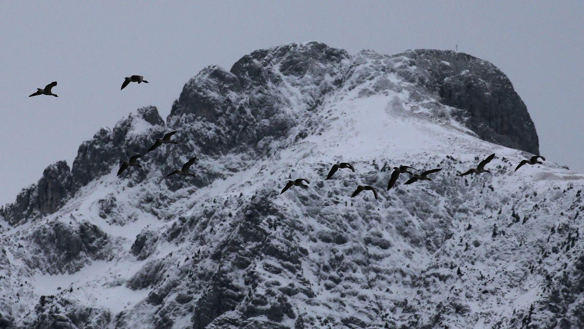 Graugänse fliegen vor dem schneebedeckten Säuling.