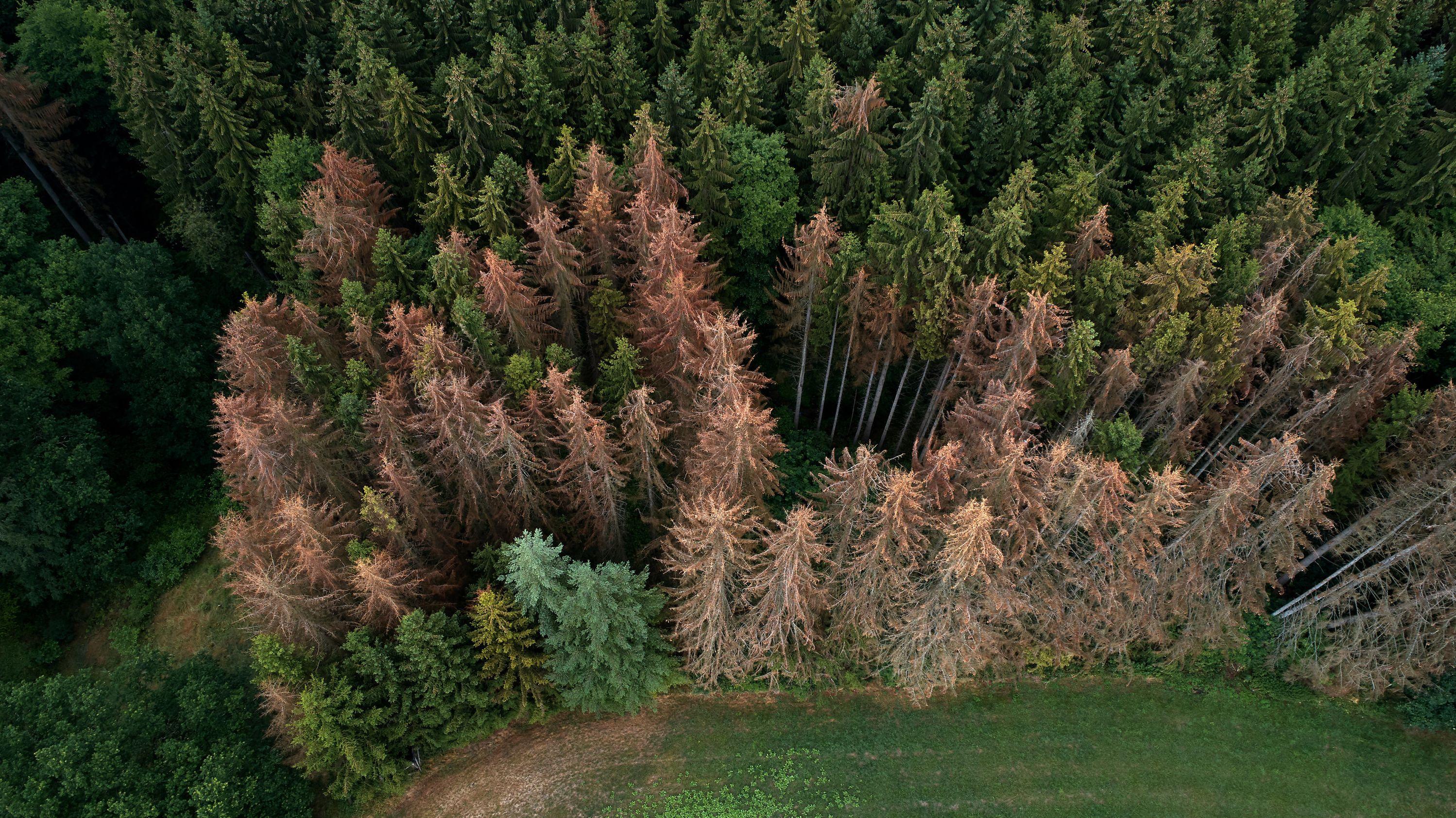 Auf einer Luftaufnahme eines Fichtenwaldes sind zahlreiche abgestorbene Bäume zu erkennen.