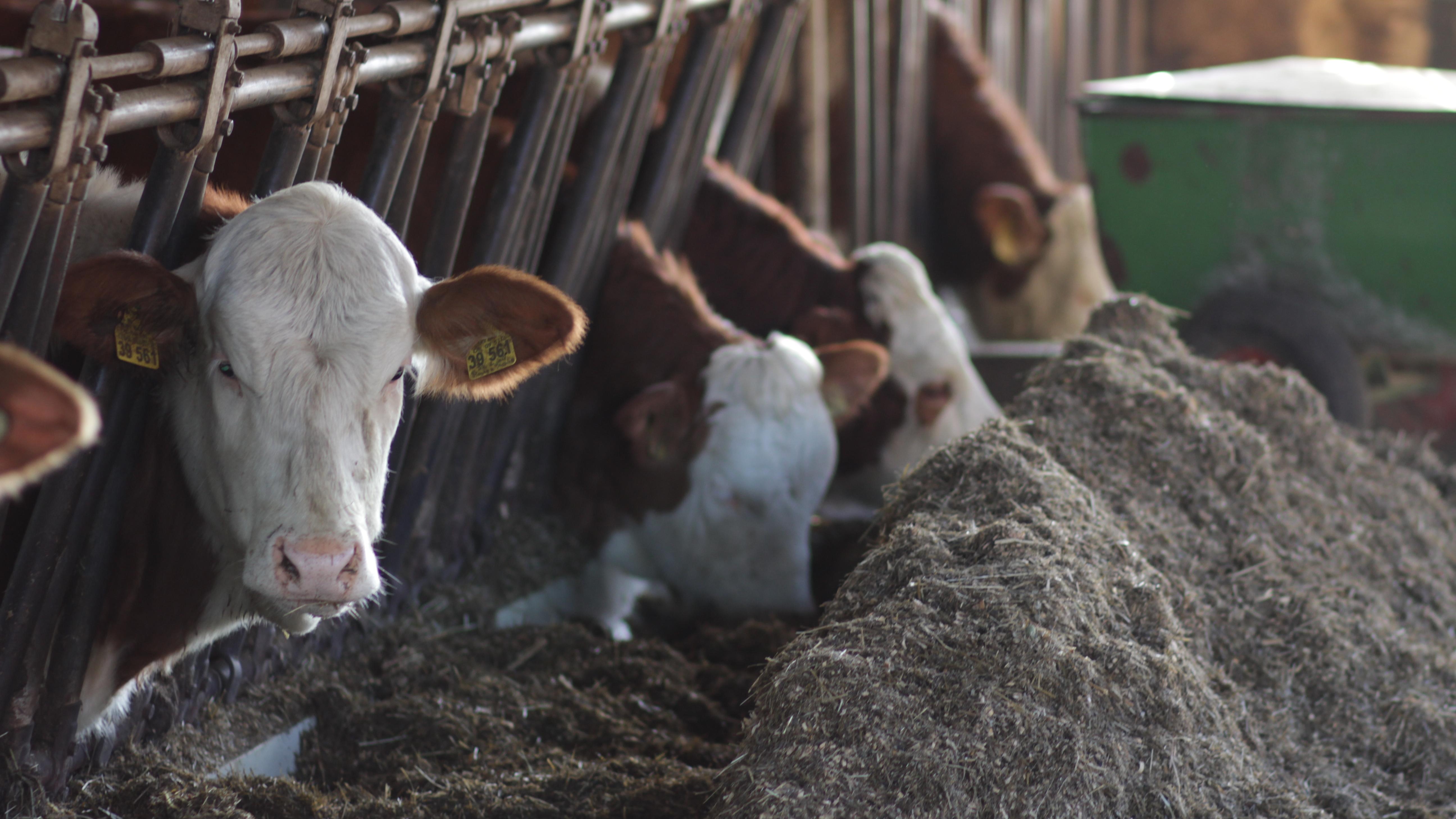Josef Schiepeck hat einen Milchviehbetrieb mit etwa 70 Milchkühen