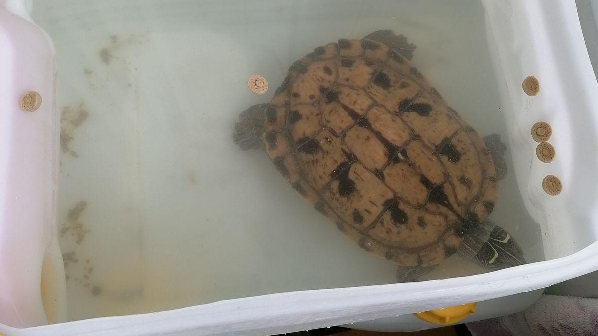Eine Schildkröte lebte in dieser winzigen Wanne