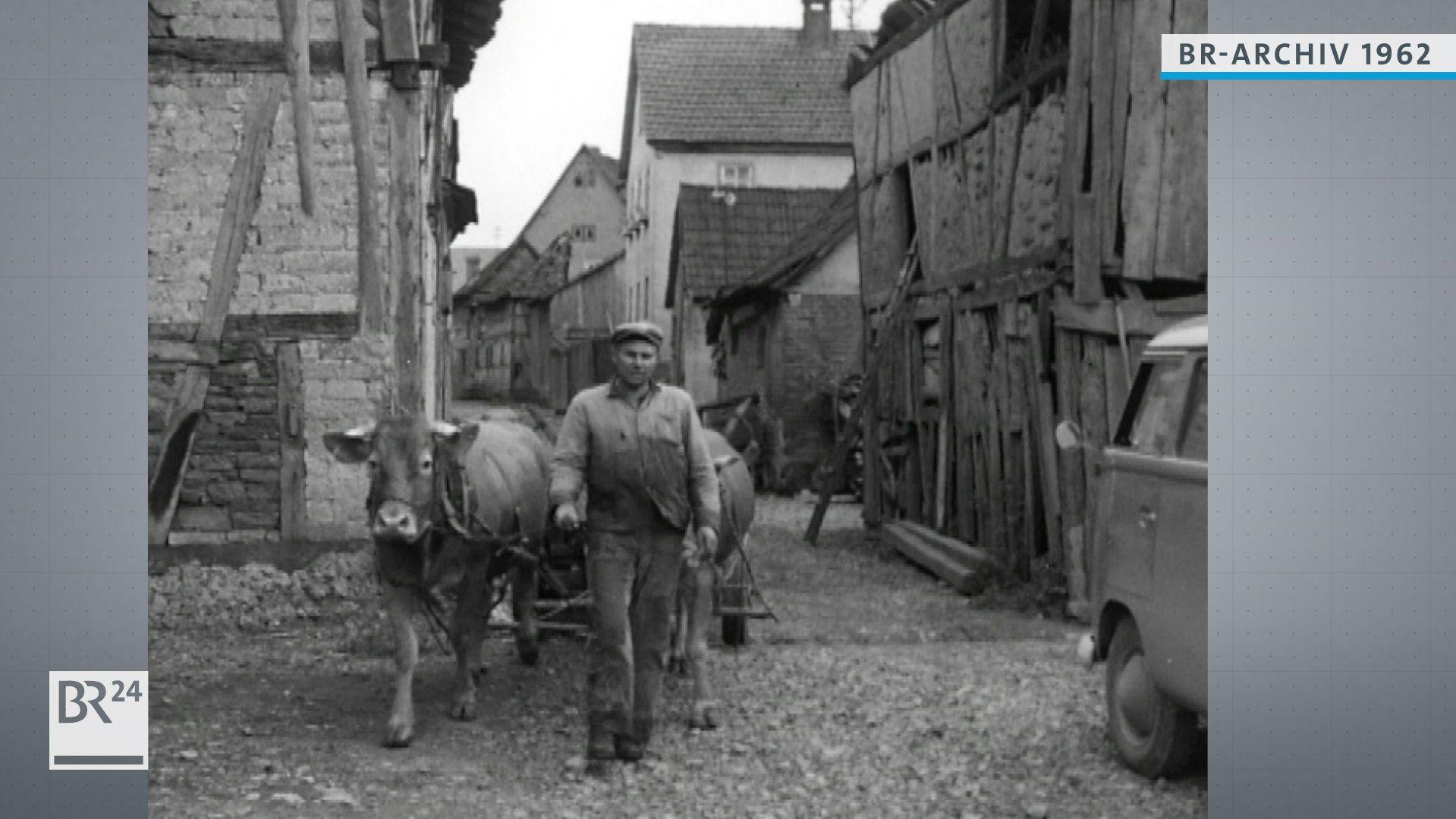 Bauer mit im Gespann gehenden Kühen