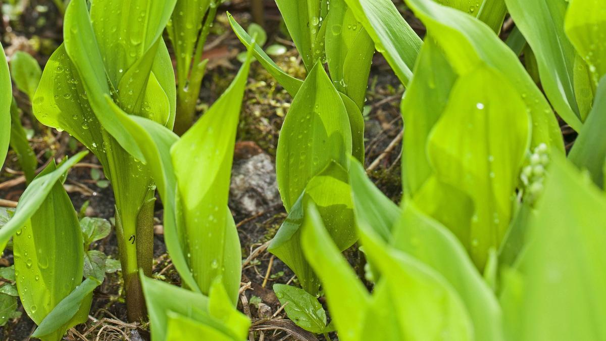 Maiglöckchenblätter