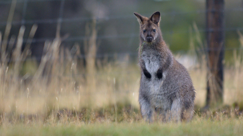 Ein Wallaby (Symbolbild)
