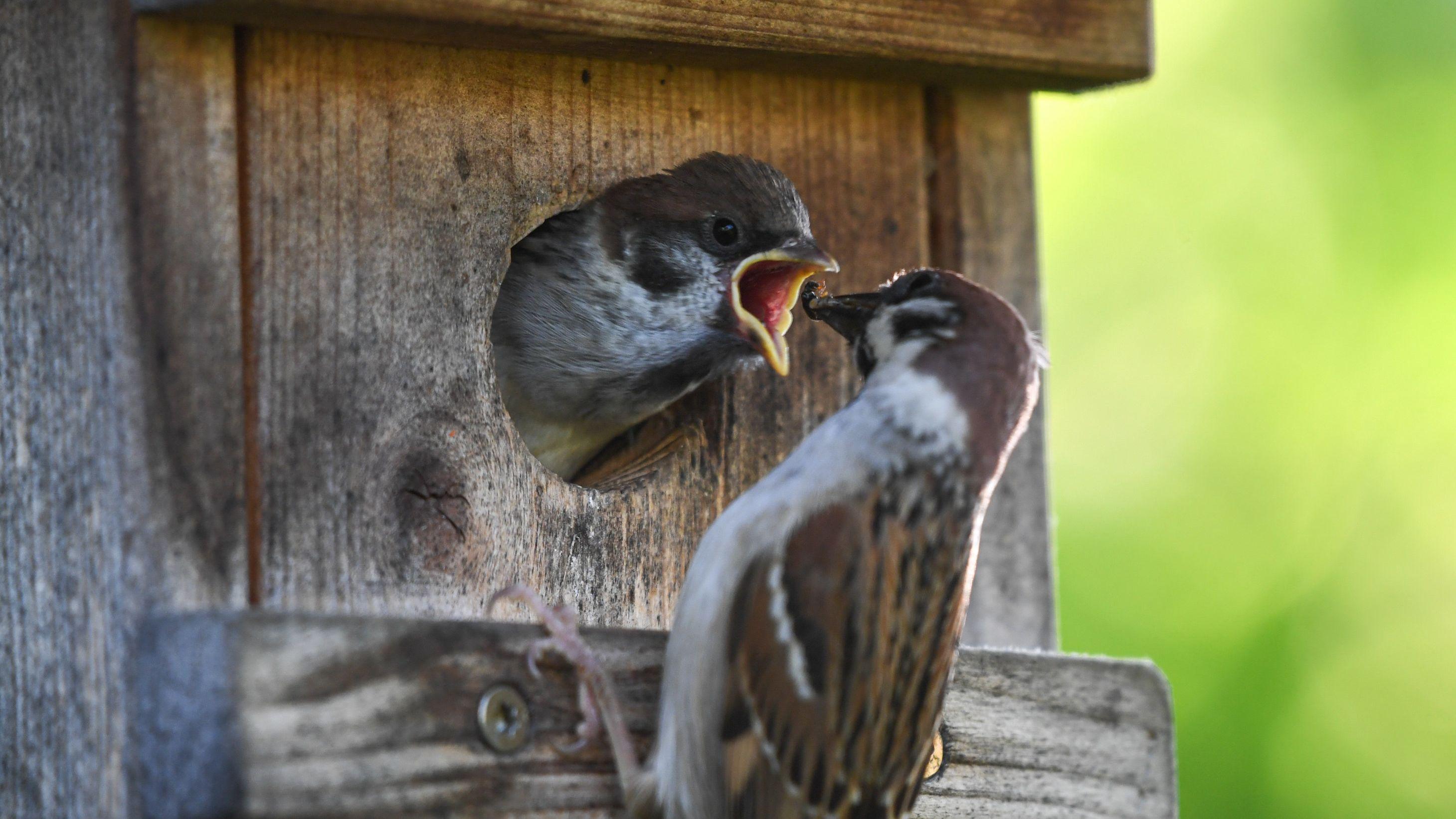 Ein Spatz füttert seinen Nachwuchs der den Kopf aus dem Vogelhaus streckt