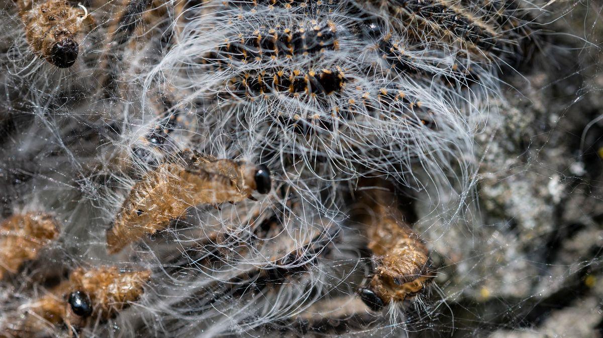 Ein Nest des Eichenprozessionsspinner an einem Baumstamm.
