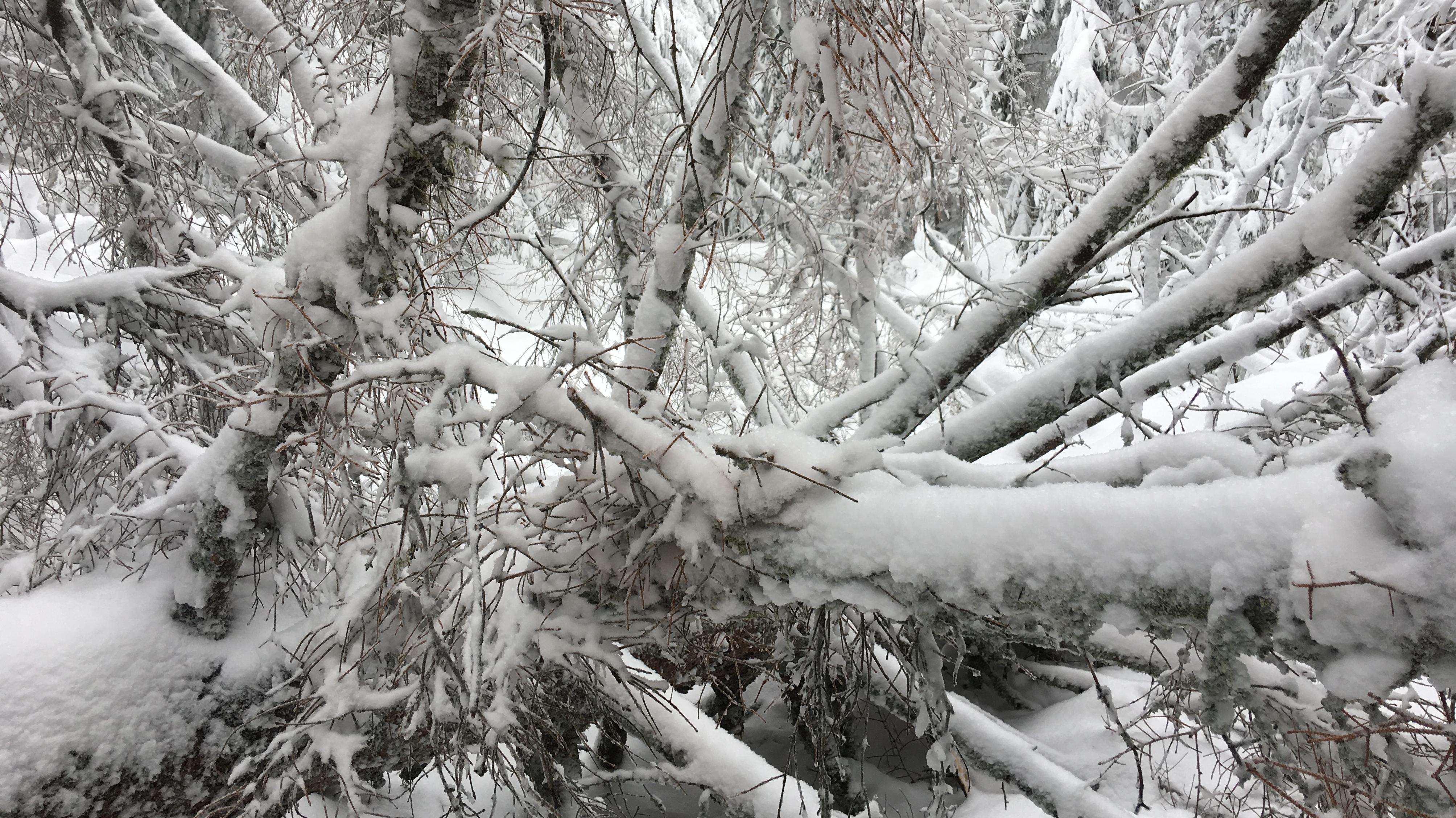 Umgestürzter Baum im Bayerischen Wald