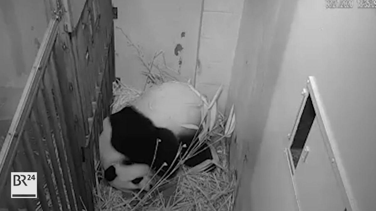 Die 22-jährige Pandadame Mei Xiang hat am Freitagabend im Zoo von Washington ein Junges zur Welt gebracht.