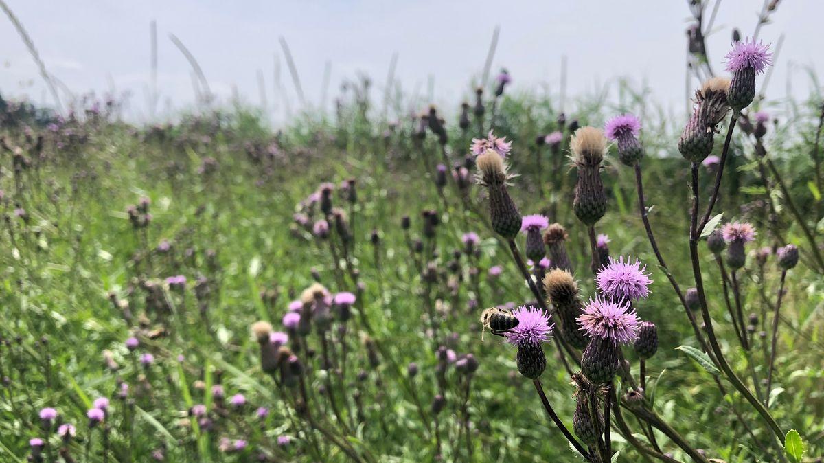 Eine Biene sitz auf einer Ackerdistel in einer angelegten Blühfläche.