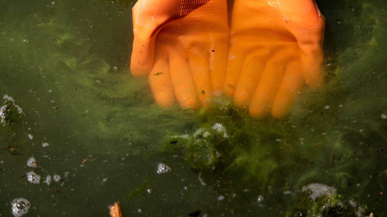 Hände in Gummihandschuhen in einem See mit Blaualgenbefall (Symboldbild).