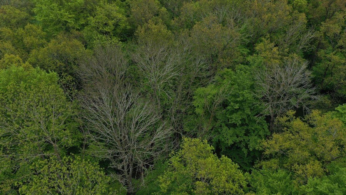 Luftaufnahme eines Laubwaldes: Die meisten Bäume haben frisch ausgetrieben, nur die Eschen sind noch kahl.