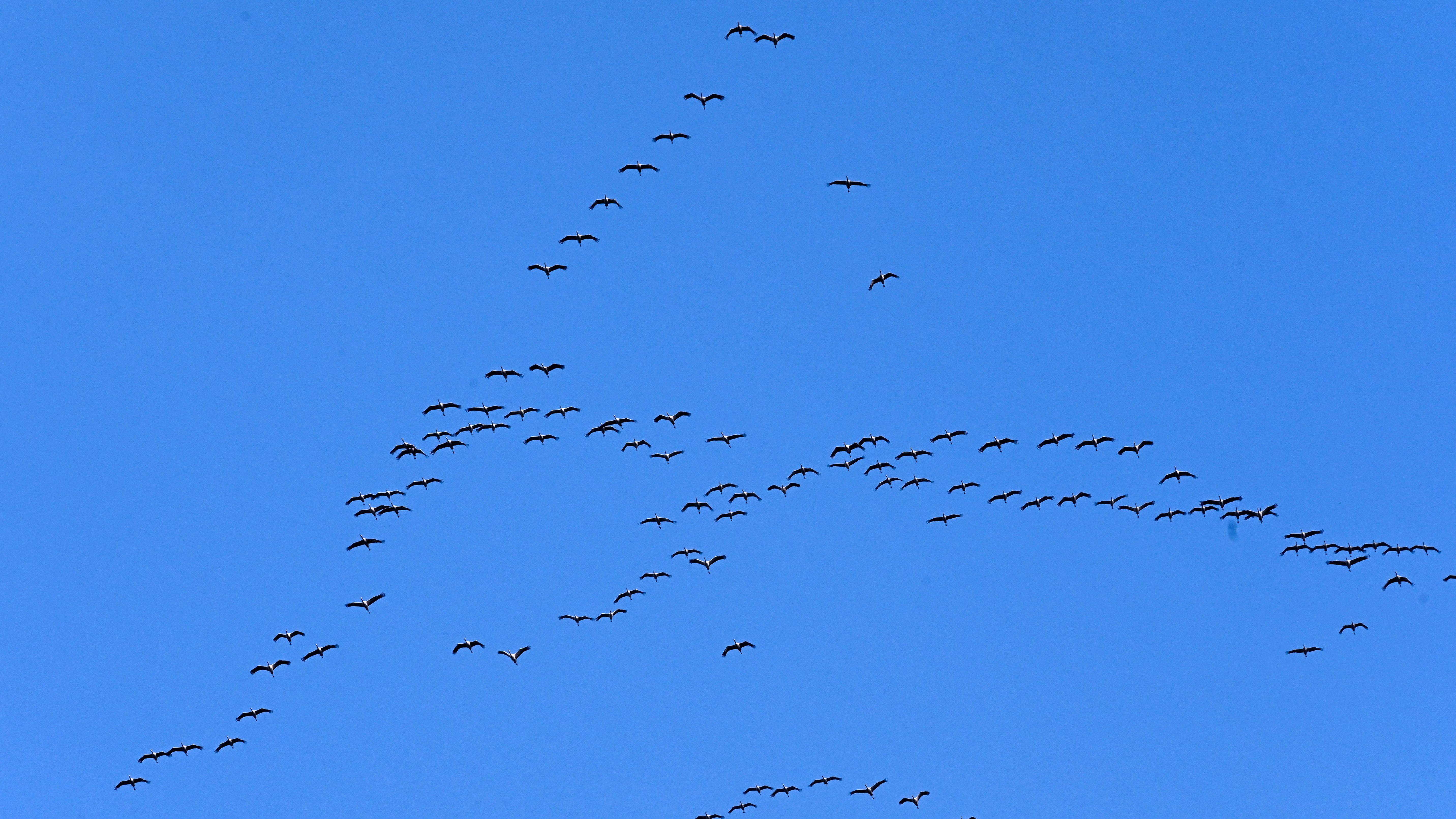 Kraniche ziehen am blauen Himmel in Richtung der südlichen Winterquartiere