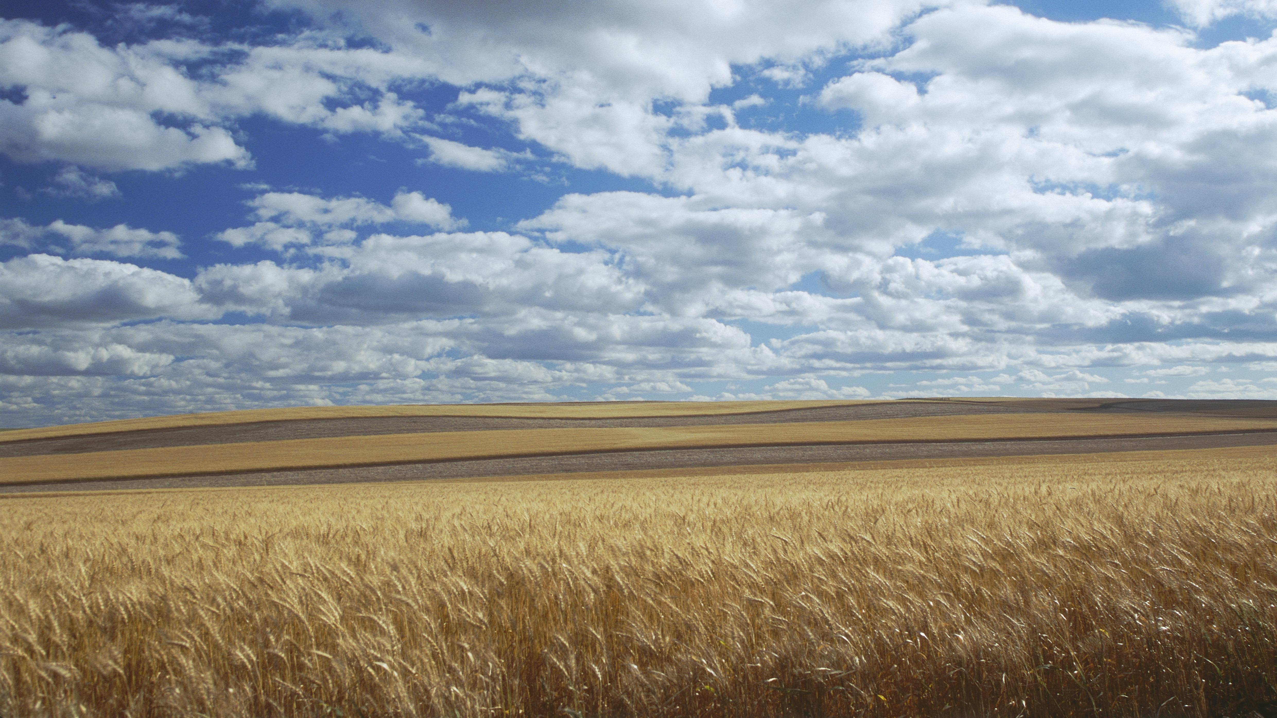 Cumuluswolken über einem Getreidefeld