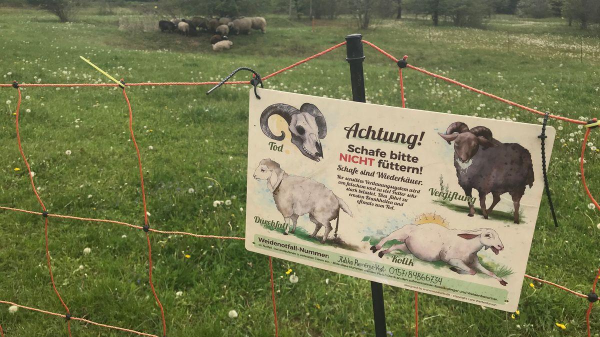 Das Schild erklärt, dass Schafe Wiederkäuer sind und oft mit Koliken auf ungewohntes Futter reagieren.