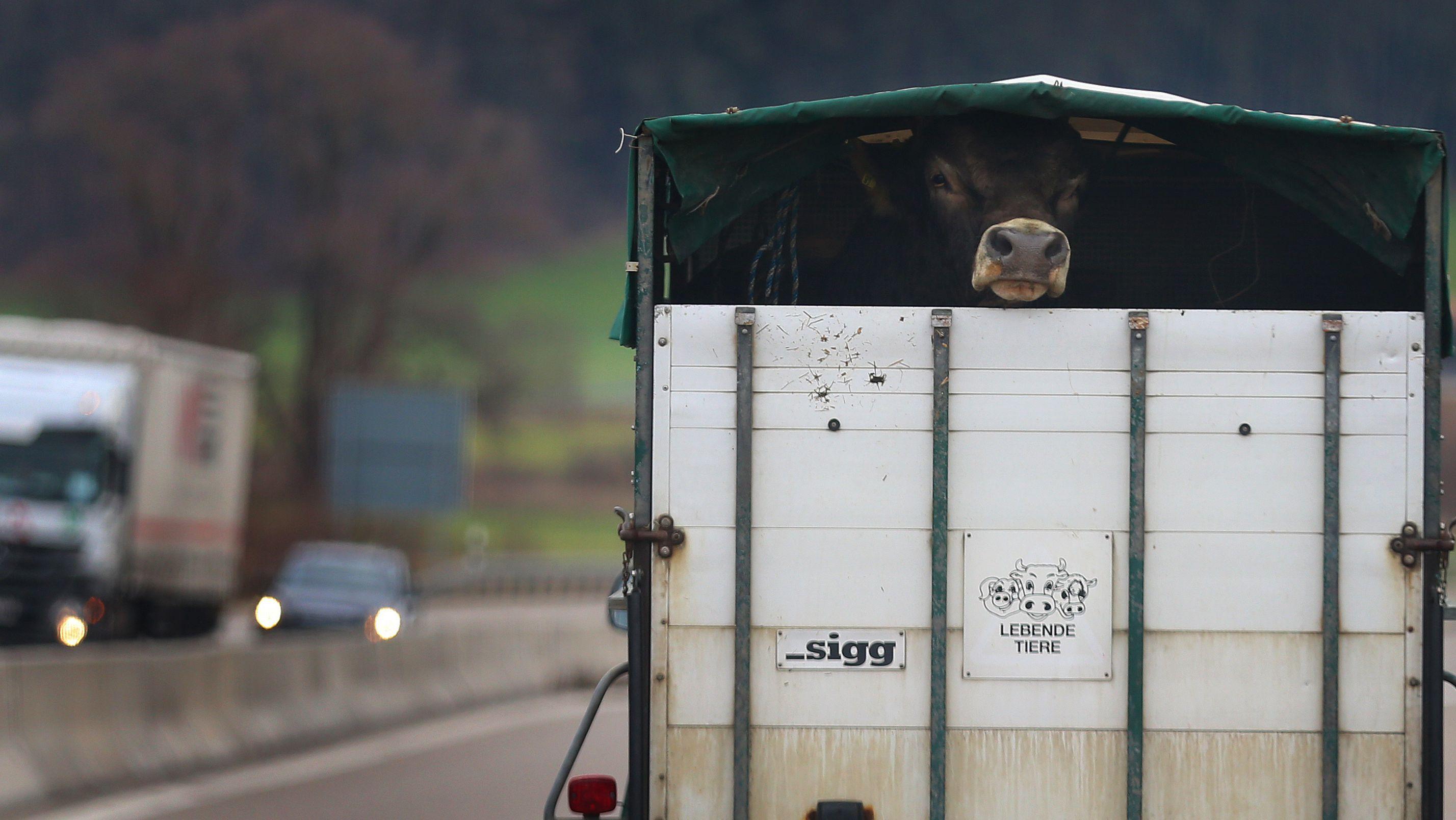 Kuh in Transportanhänger auf der Autobahn (Symbolbild)
