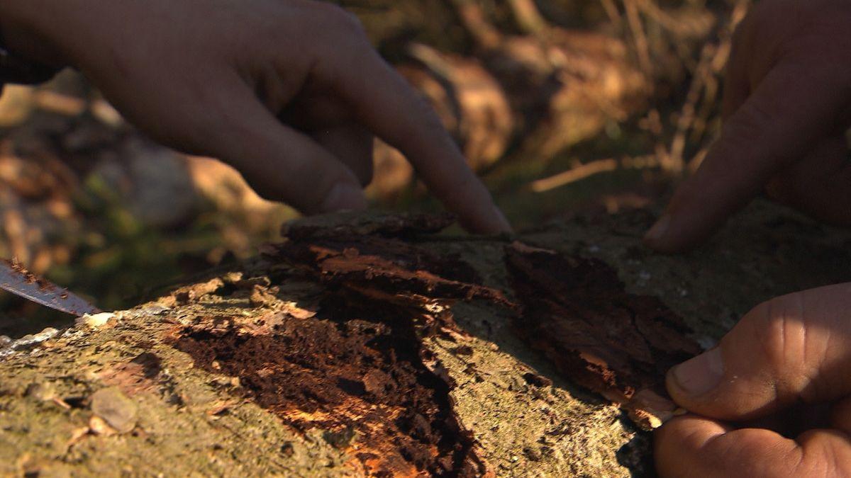 Durch den Borkenkäfer geschädigter Baum
