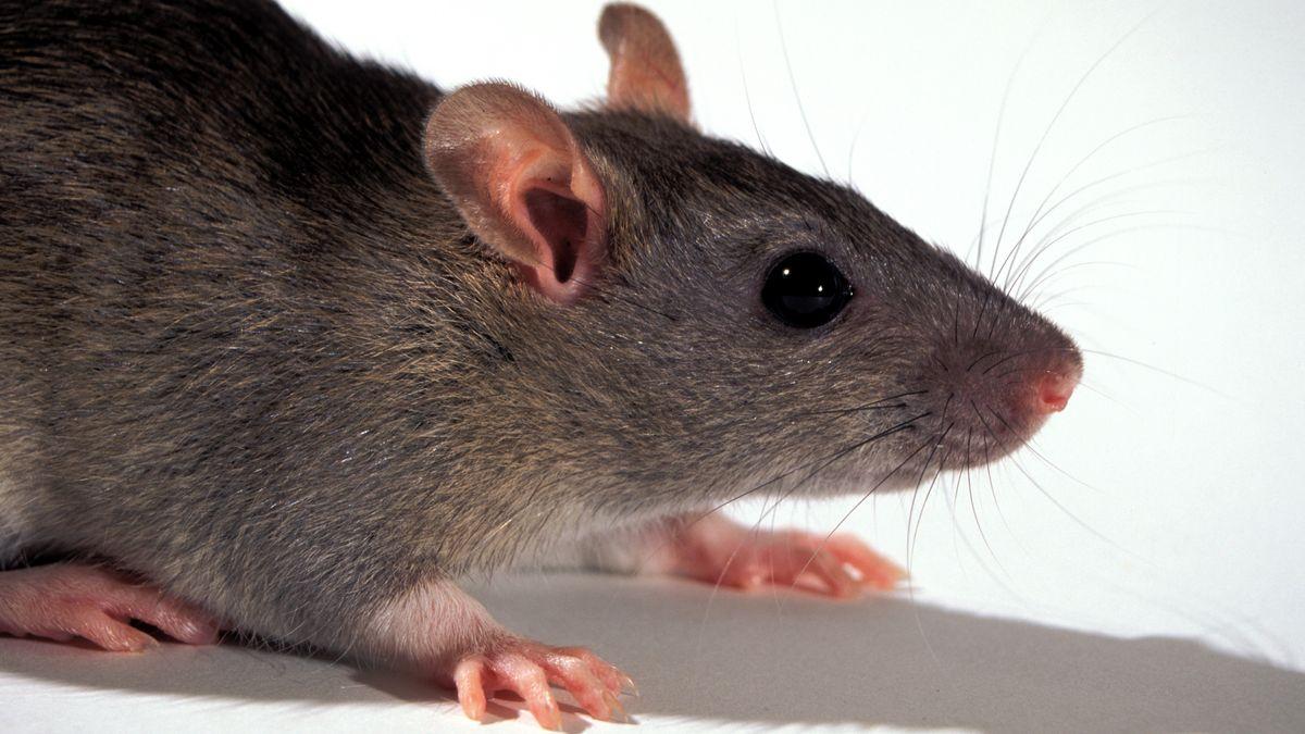 Eine Ratte
