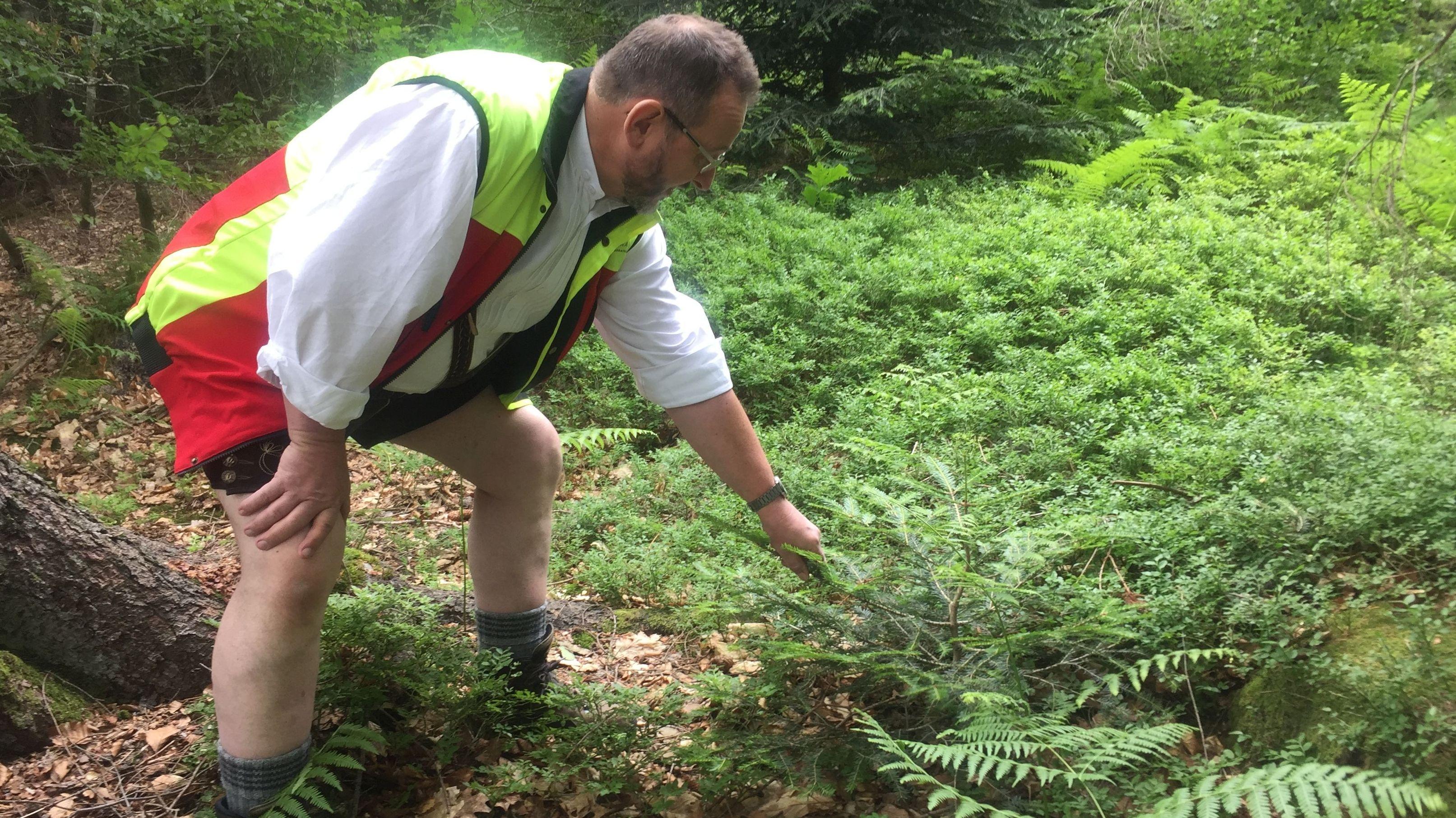 Jürgen Völkl, Leiter des Forstbetriebs Bodenmais zeigt junge Bäumchen, die sich von selber ausgesät haben.