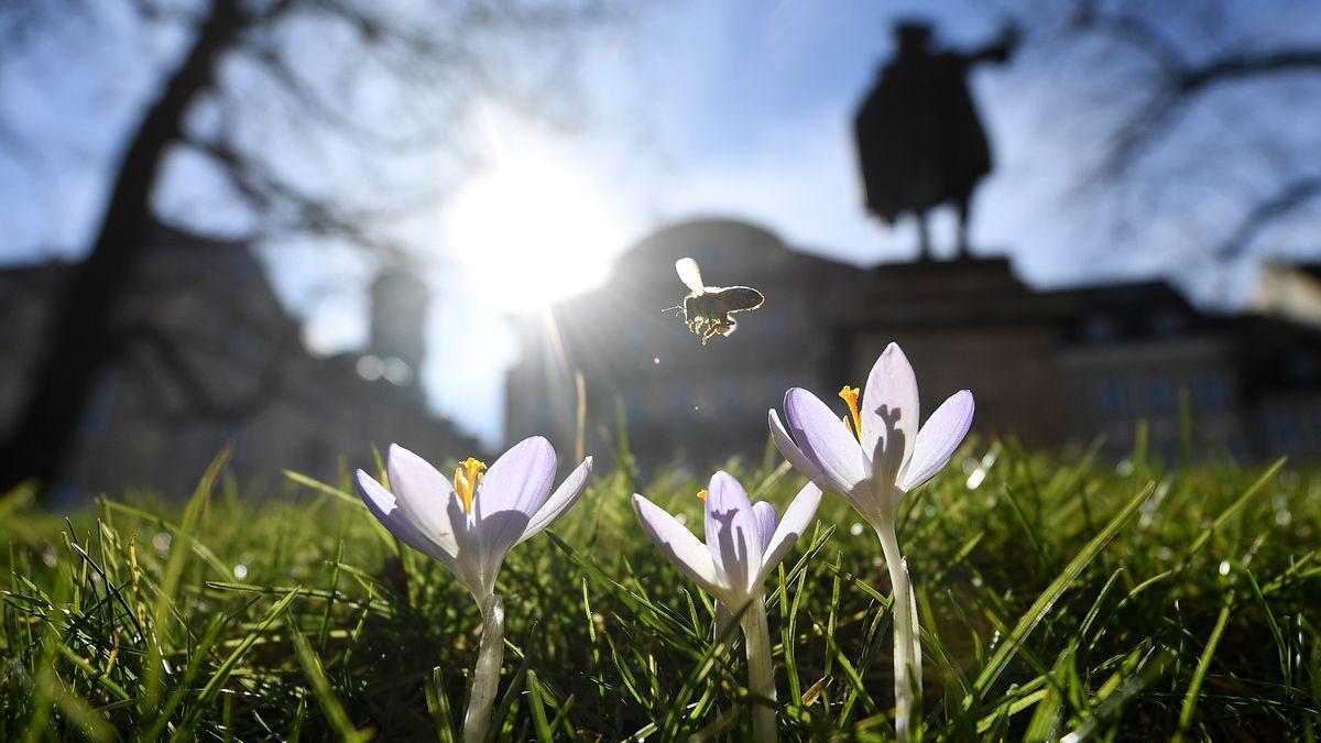 Biene im Anflug auf Krokusse in München