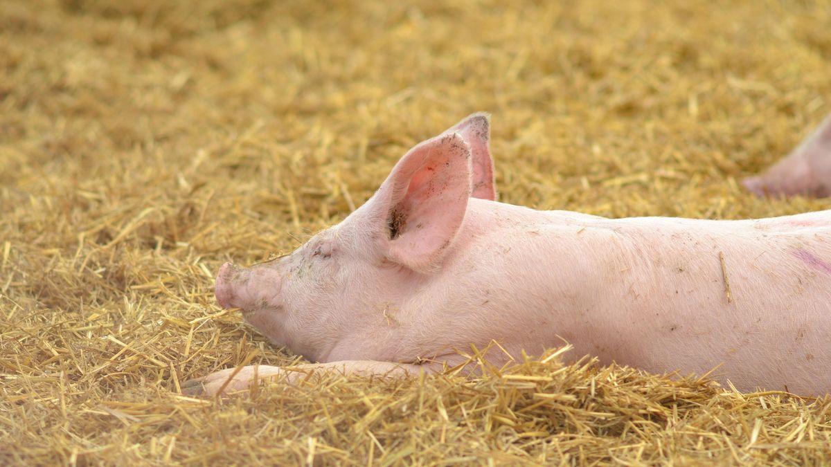 Ein Schwein liegt im Stroh.
