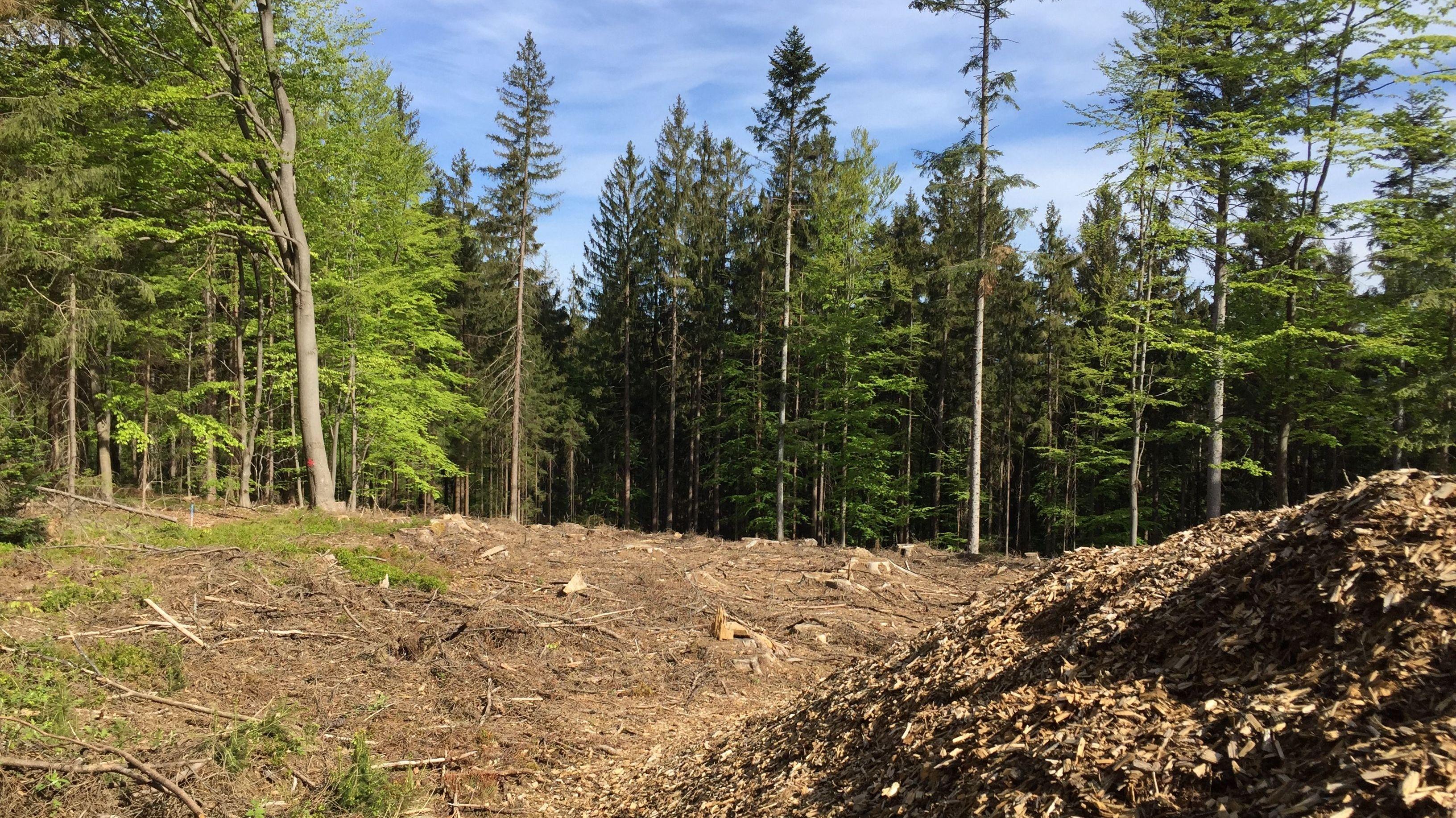 Die durch Käfer entstandene Kahlfläche eines einstigen Fichtenwalds bei Langdorf