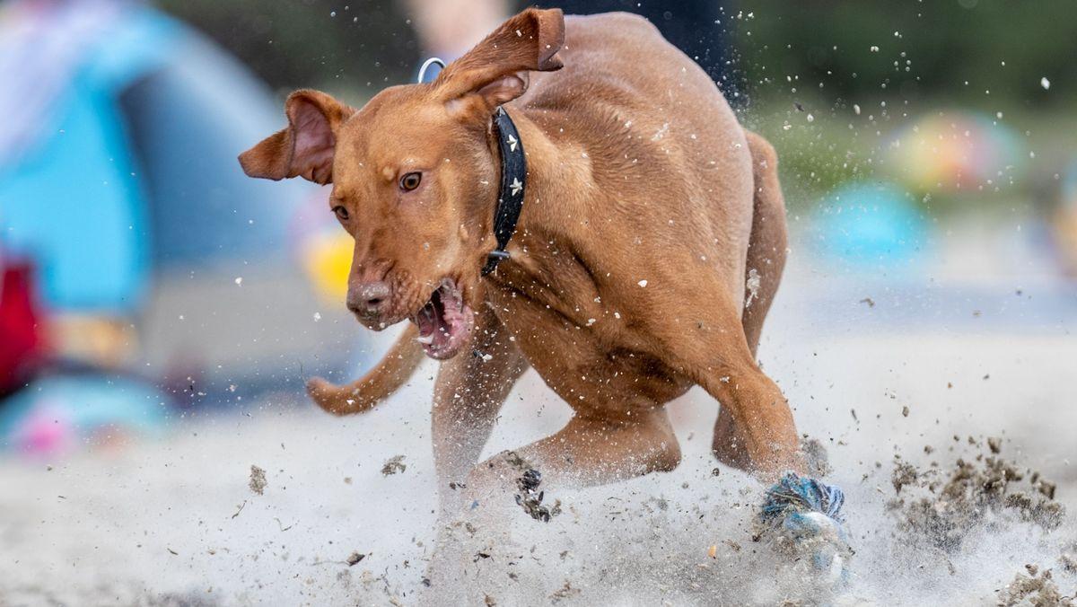 Ein ungarischer Jagdhund der Rasse Magyar Viszla. Der Hund hat nichts mit dem geschilderten Fall zu tun.