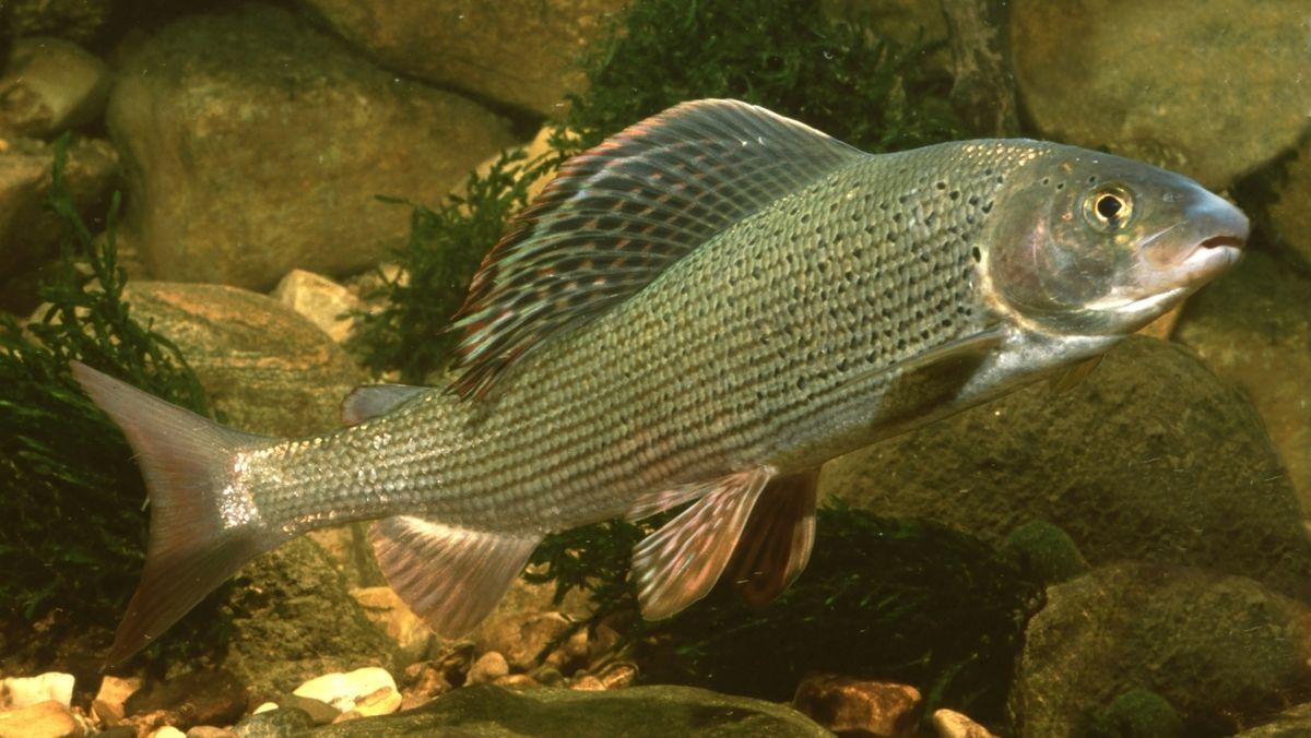 Äsche - ein einheimischer Fisch, dessen Bestand bedroht ist.