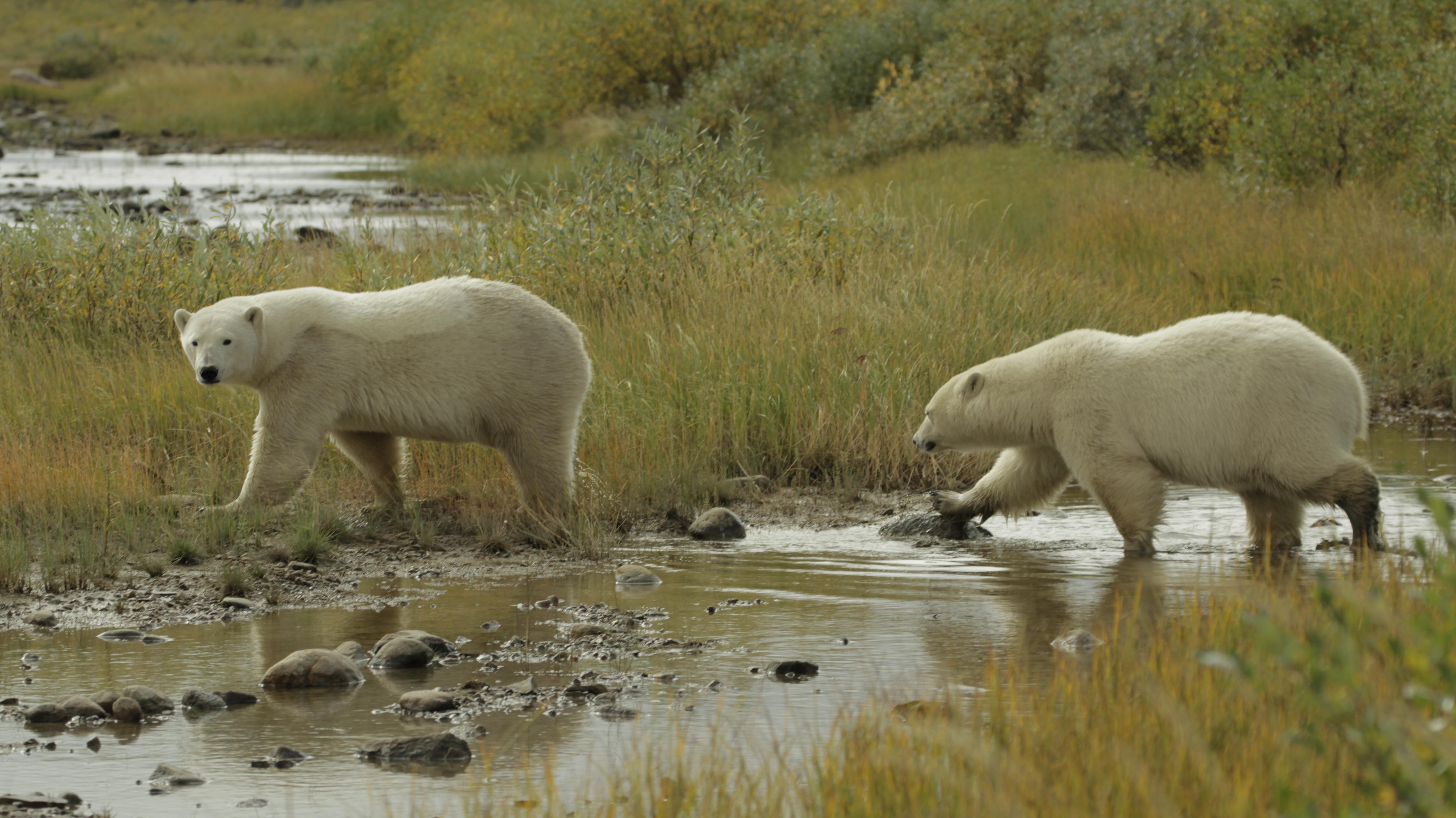 Eisbären in freier Natur