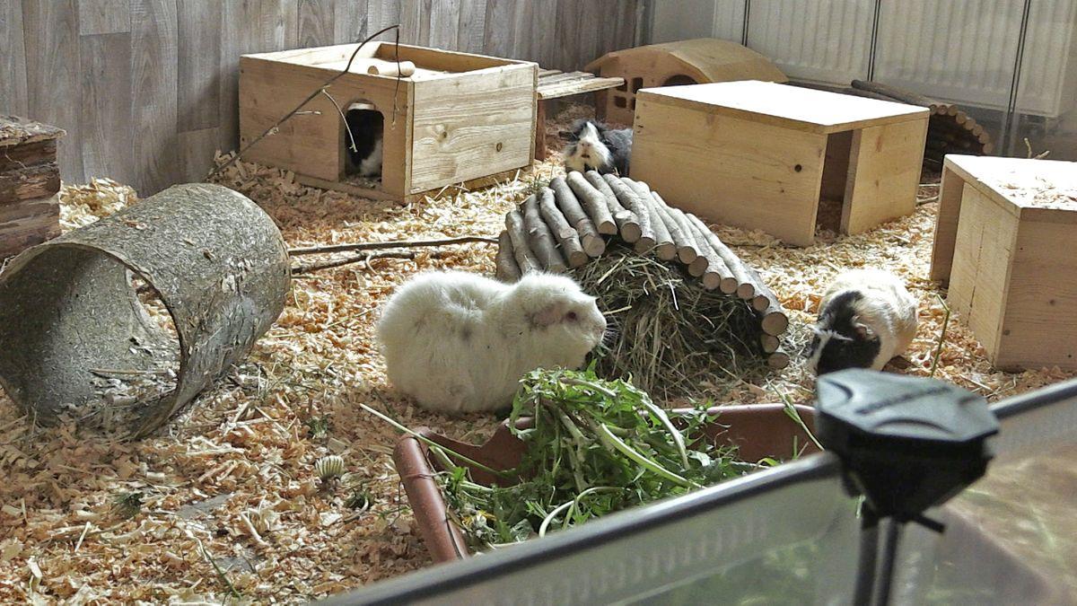 Meerschweinchen sitzen in einem Käfig.