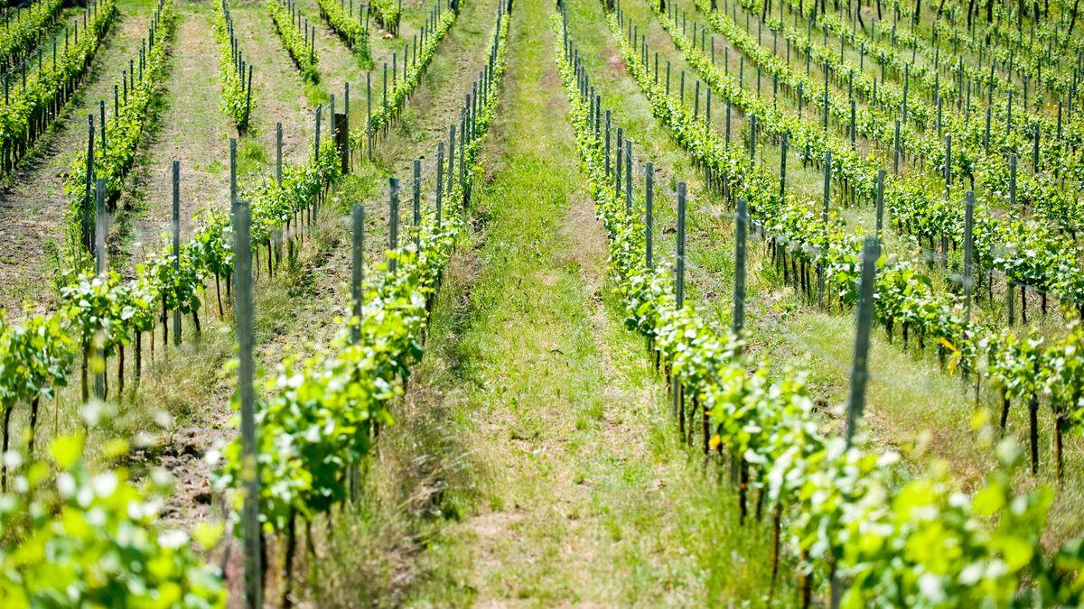 Die Rebblüte in Frankens Weinbergen verzögert sich wegen des kalten Frühjahrs.