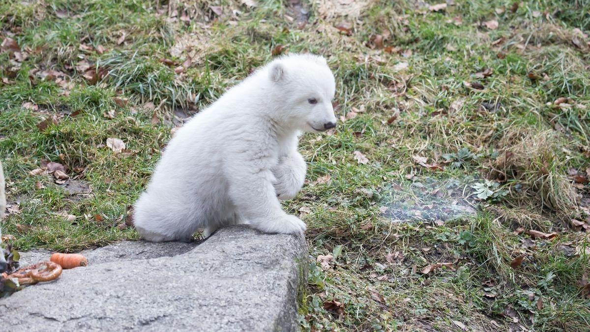 Eisbärbaby Hellabrunn