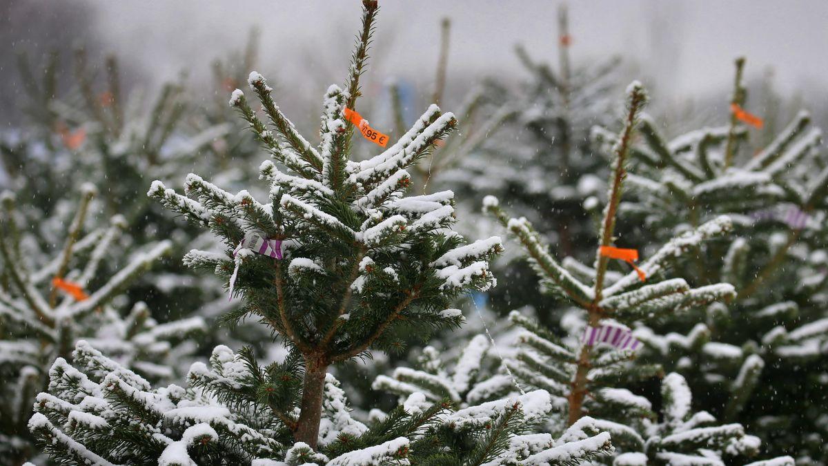 Nordmanntannen stehen an einem Christbaumverkauf