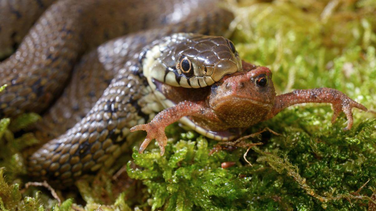 Ringelnatter hält Frosch im Maul