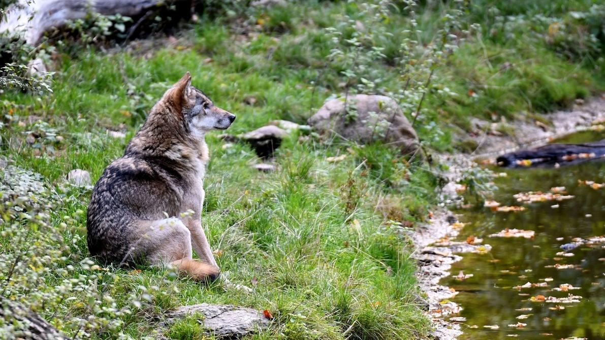 Ein Wolf sitzt im Wisentgehege in Springe (Niedersachsen).