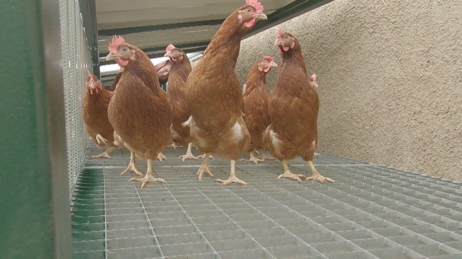 Hühner auf der Hühnerbrücke