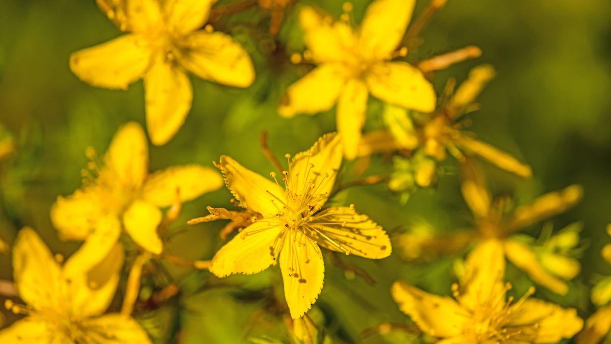 Blüten des Johanniskrauts
