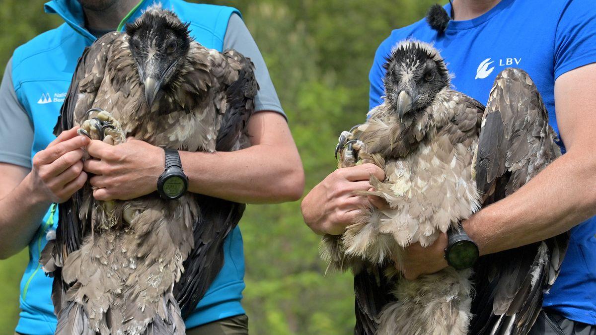 """Das Bartgeierweibchen """"Wally"""" (l) und """"Bavaria"""" (r) werden vor ihrem Transport gezeigt, bevor sie zum Knittelhorn transportiert werden."""