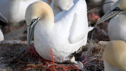 Nester voller Plastik - Seevögel auf Helgoland | Bild:dpa-Bildfunk/Carsten Rehder