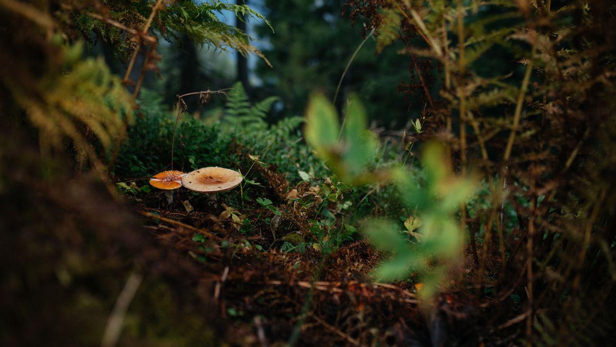 Pilze im Wald (Symbolbild)