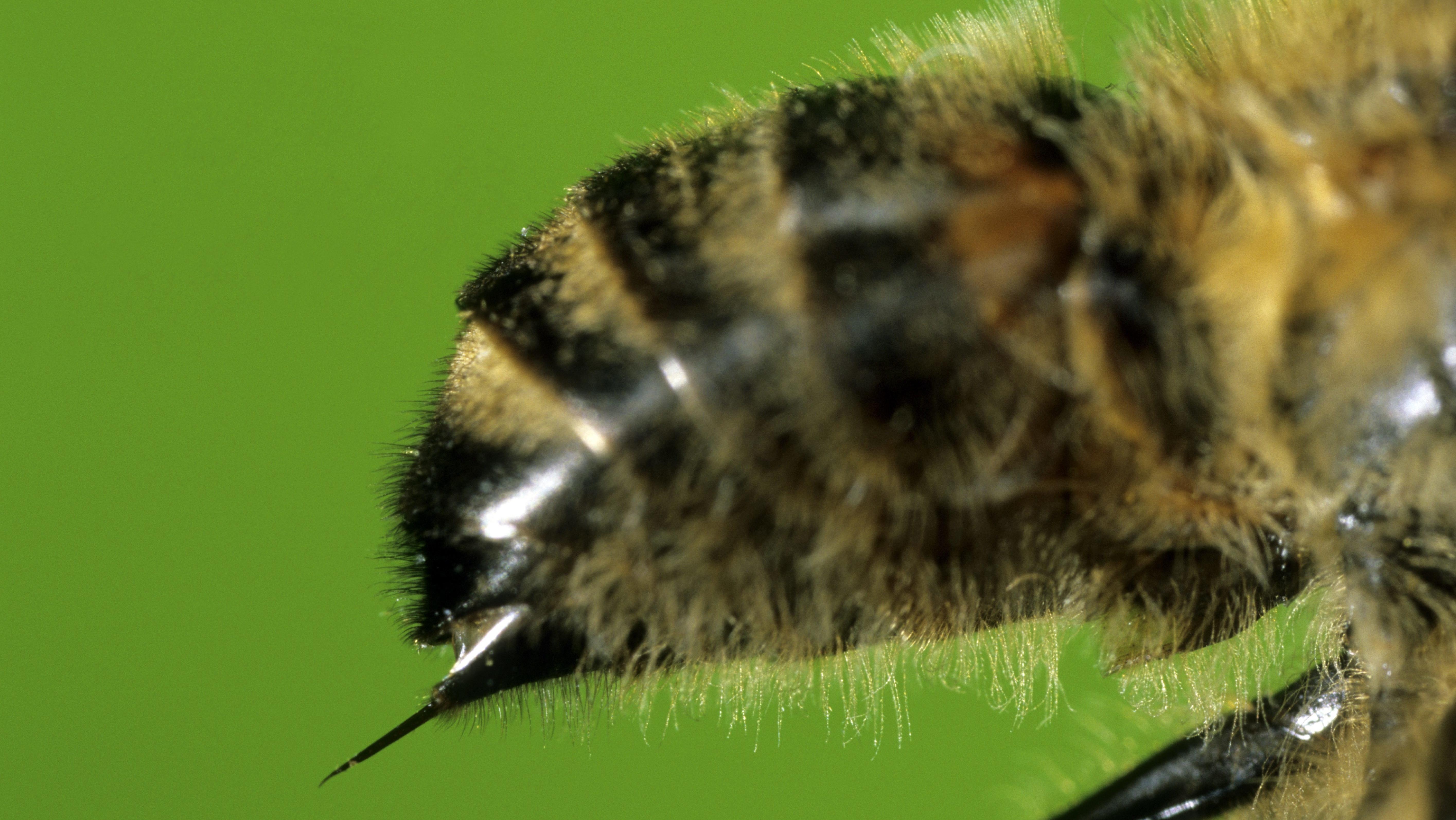 Honigbiene mit Giftstachel